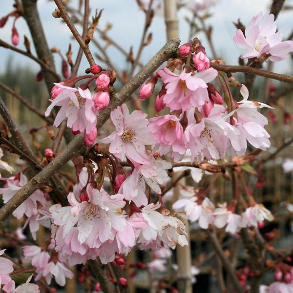 prunus autumnalis rosea autumn cherry tree mail order. Black Bedroom Furniture Sets. Home Design Ideas