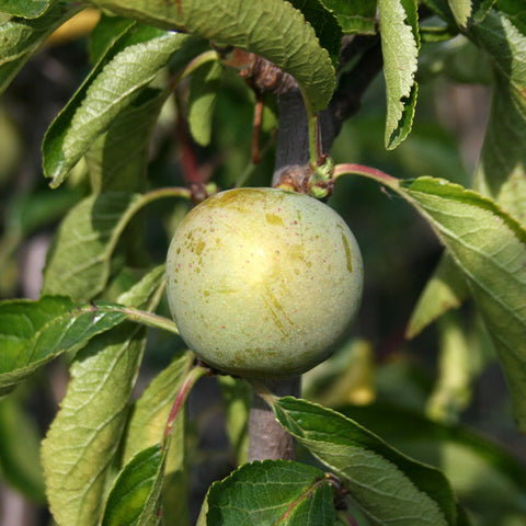 Prunus Cambridge Gage - Fruit