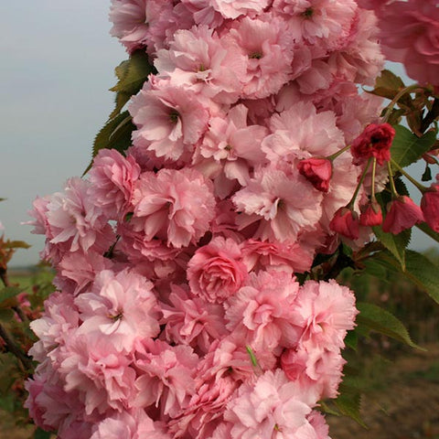 Prunus Candy Floss - Flowers