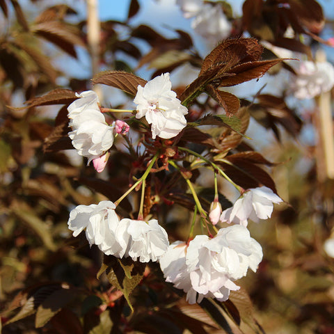 Prunus Chocolate Ice - Flowers