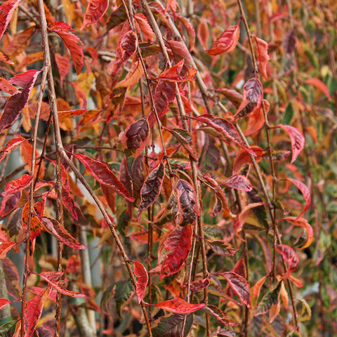 Prunus Frilly Frock - Autumn Colour