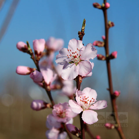 Prunus Ingrid - Flowers