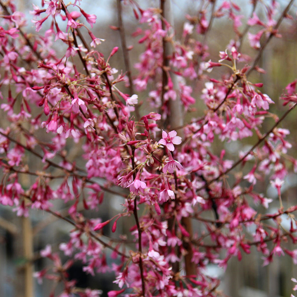 Prunus Okame Harlequin Flowering Cherry Tree Mail Order Trees