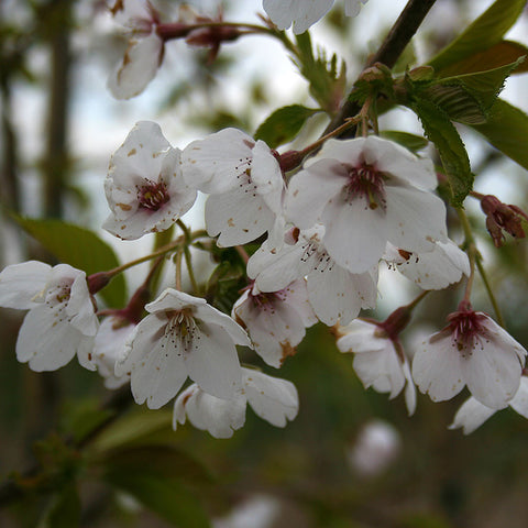 Prunus Pandora - Flowers
