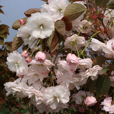 Prunus Shorifugen - Flowers