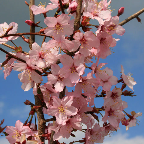 Prunus Spire - Flowers