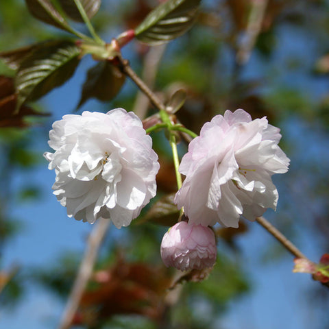 Prunus Spring Snow - Flowers