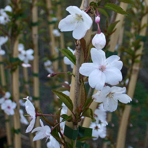 Prunus The Bride - Flowers