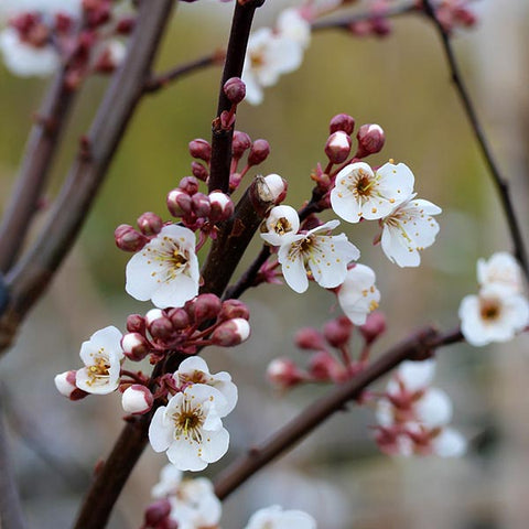 Prunus Trailblazer - Flowers