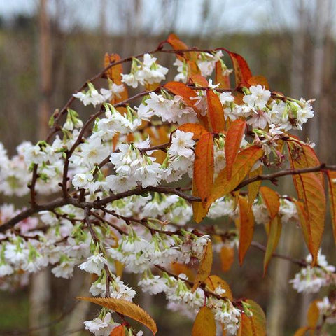 Prunus Autumnalis - Autumn Flowers