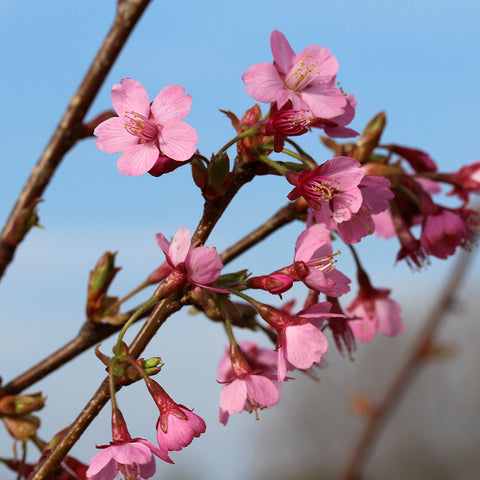 Prunus Kursar - Flowers
