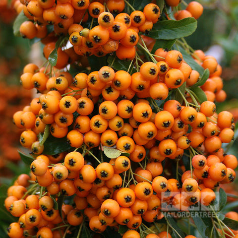 Pyracantha Golden Charmer - Berries