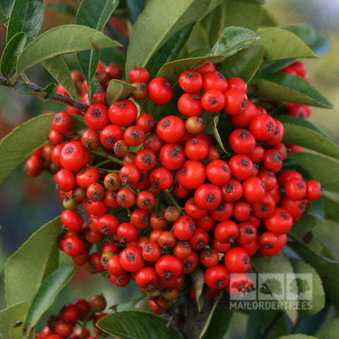 Pyracantha Mohave - Berries