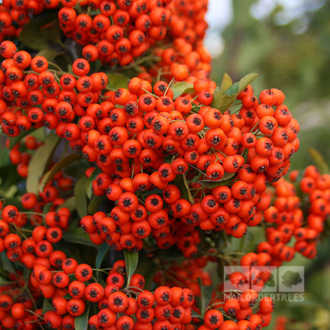 Pyracantha Orange Glow - Berries