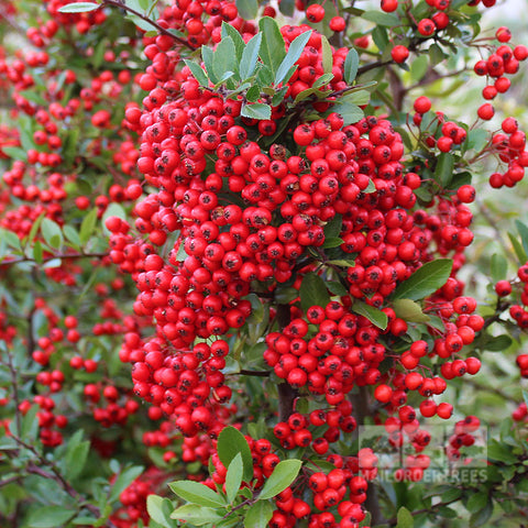 Pyracantha Red Column - Berries