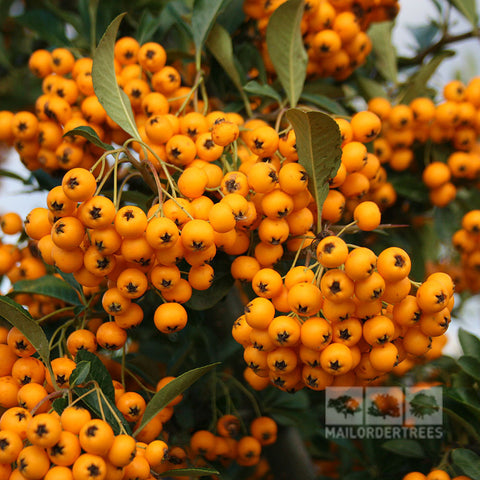 Pyracantha Soleil d'Or - Berries