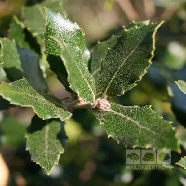 Quercus Ilex Holm Evergreen Oak Tree Mail Order Trees