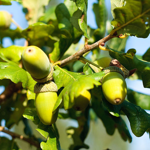 Quercus robur - Acorns