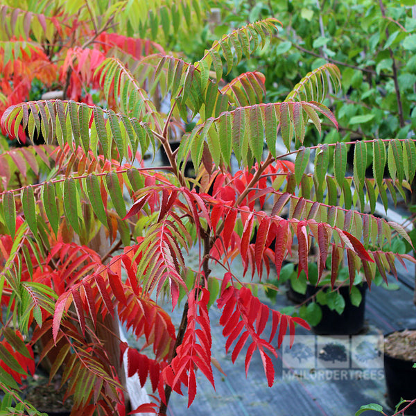 Rhus Typhina Stag S Horn Sumach Mail Order Trees