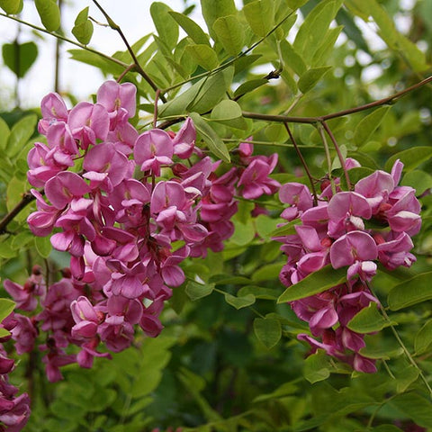 Robinia Casque Rouge - Flowers