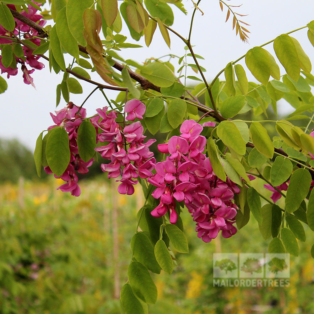 Robinia casque rouge pink cascade mail order trees robinia casque rouge flowers mightylinksfo
