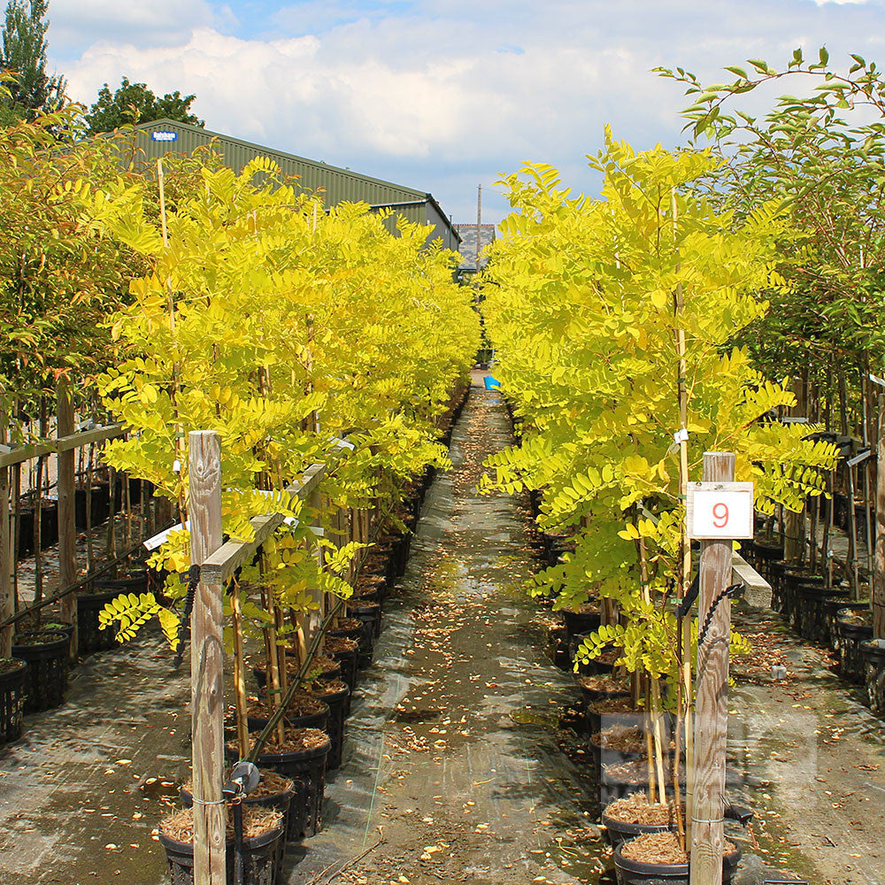 Robinia Frisia False Acacia Tree Mail Order Trees