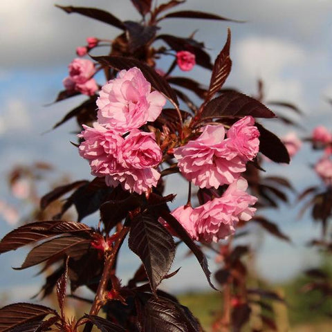 Prunus Royal Burgundy - Flowers