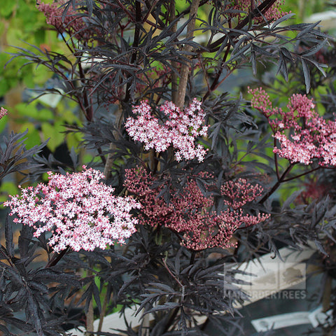 Sambucus Black Lace - Flowers