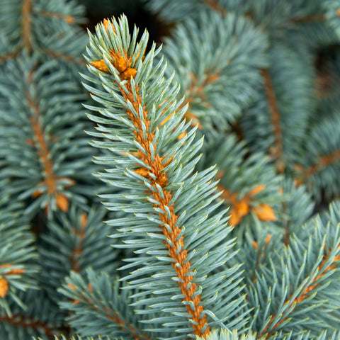 Picea pungens Schovenhorst - Barb Spruce