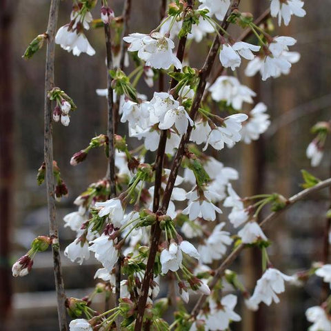 Prunus Snow Showers - Spring Flowers