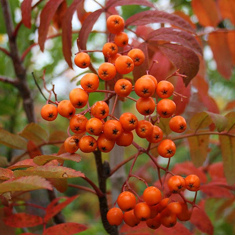Sorbus Apricot Queen - Berries