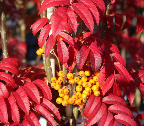 Sorbus Autumn Spire - Berries