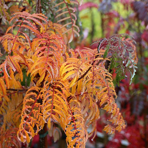 Sorbus Chinese Lace - Autumn Foliage