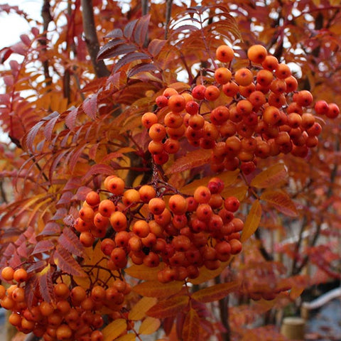 Sorbus Copper Kettle - Fruits