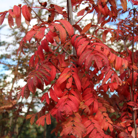 Sorbus Fingerprint - Autumn Colour