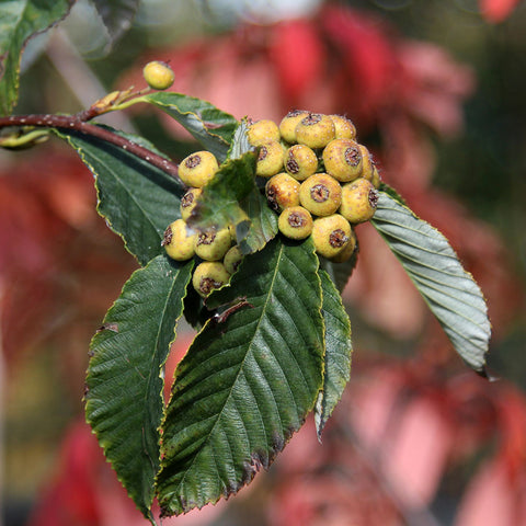 Sorbus John Bond - Berries