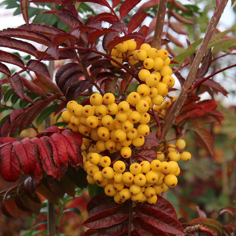 Sorbus Joseph Rock - Fruits