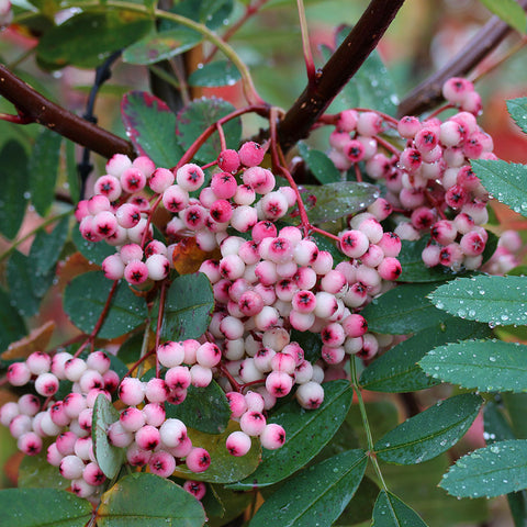 Sorbus Pink Pagoda - Fruits