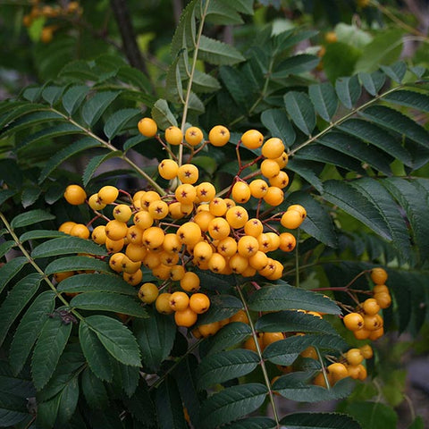 Sorbus Sunshine - Berries