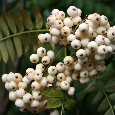 Sorbus White Wax - Fruits