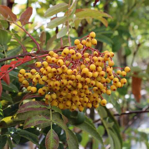 Sorbus Wilsey Gold - Fruits