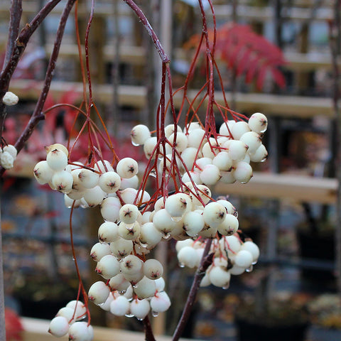 Sorbus cashmiriana - Fruits