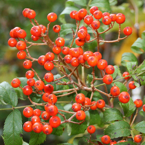 Sorbus commixta - Fruits