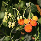 Arbutus unedo - Flowers & Fruits