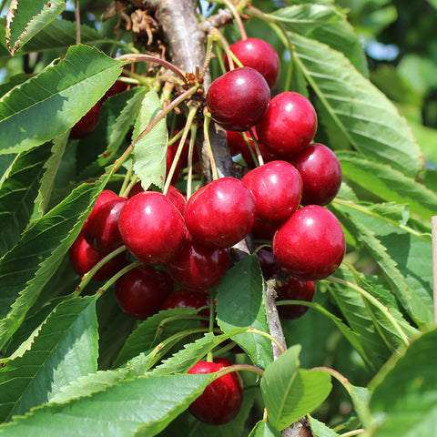 Prunus Summer Sun - Fruits