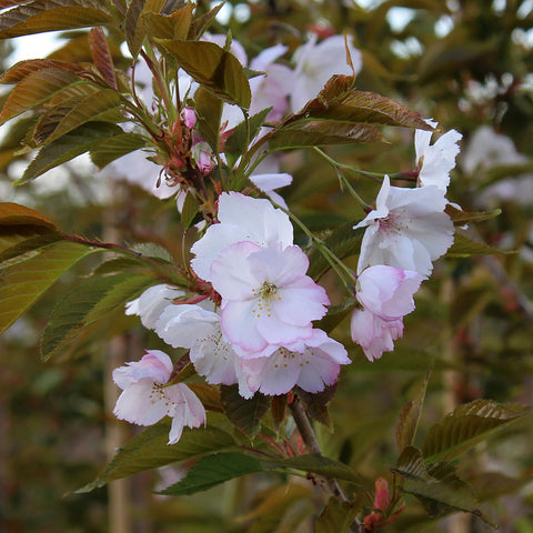 Prunus Sunset Boulevard - Flowers