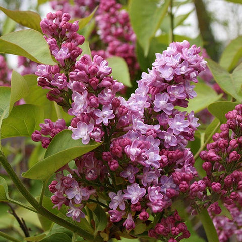 Syringa Belle de Nancy - Flowers