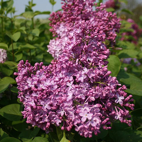 Syringa Katherine Havemeyer - Flowers