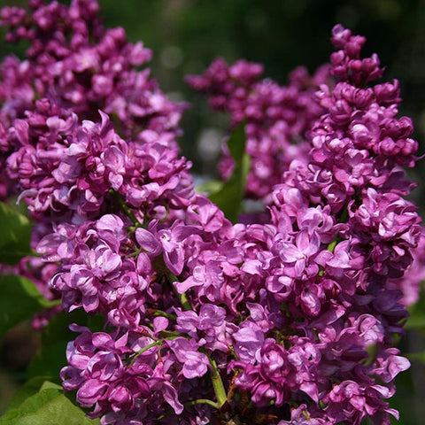 Syringa Mrs Edward Harding - Flowers