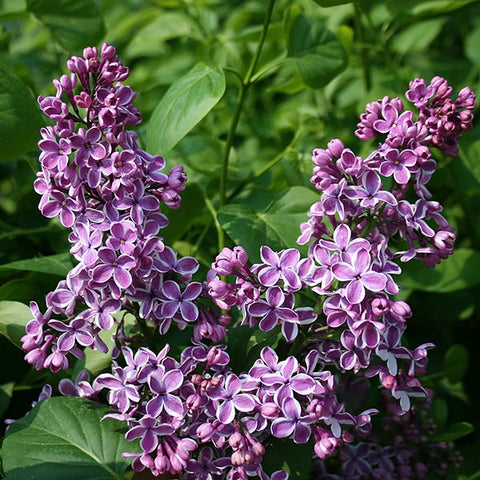 Syringa Sensation - Flowers